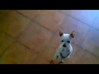 Chihuahua_dancing_Flamenco___Chihuahua_dança__�����_���_�������_medium